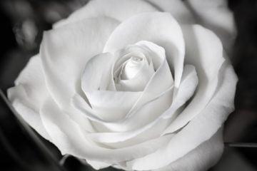 rose-1307443_1920